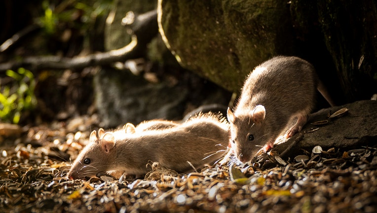 A baby rats in the Widdale Red Squirrel Reserve in North Yorkshire, as the UK red squirrel population declines. PA Photo. Issue date: Sunday October 27, 2019. Autumn is the best time to see red squirrels as they forage nuts to cache for the long winter months. The UK Squirrel Accord, a nationwide partnership looking to secure the future of the animal, estimates that there are around 140,000 red squirrels in the UK, where years ago there were several million. Kay Haw, the director of the group, told the PA news agency: ÒThe greatest threat to the UK's red squirrels is competition from and disease transmission by invasive non-native grey squirrels. See PA story NATURE Squirrels . Photo credit should read: Danny Lawson/PA Wire (Photo by Danny Lawson/PA Images via Getty Images)