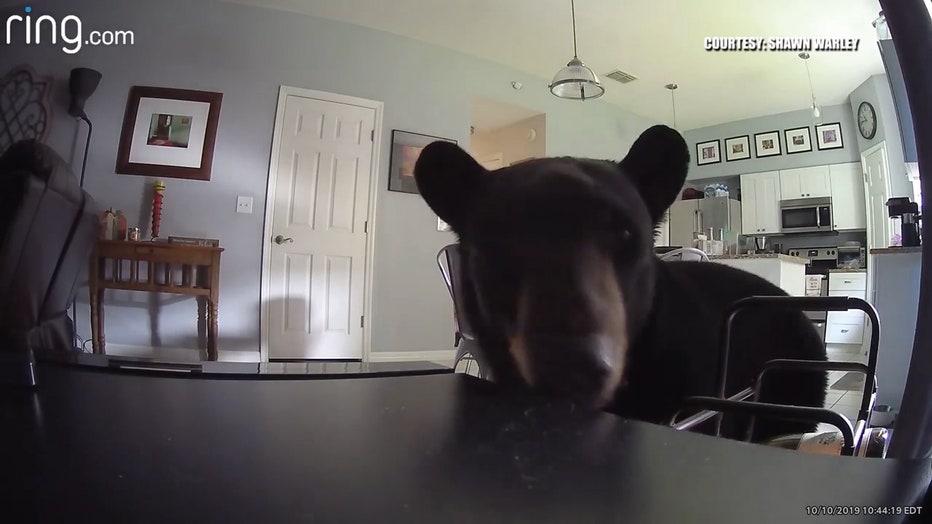 apopka-bear-in-home.jpg