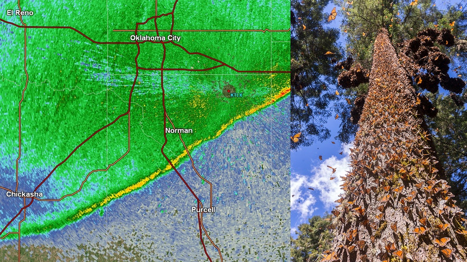 Monarch butterflies are migrating in such large numbers that NWS radar is capturing their path. LEFT: NWS radar image. RIGHT: Monarchs cover a pine tree inThe Monarch Butterfly Biosphere Reserve, Mexico.