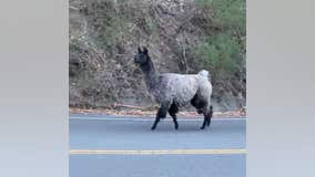 'Lovely llama': Firefighters help rescue a llama wandering near Tilden Regional Park