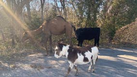 Cow, donkey and camel found roaming, reminiscent of a Christmas Nativity scene
