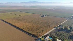 Investigators: Hemp plants seized in Central California were pot worth $1B