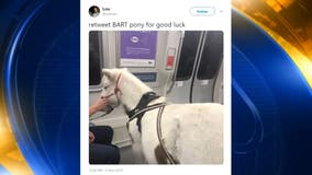 Miniature horse rides BART to San Francisco