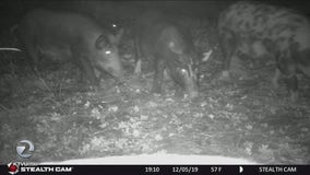 Feral pigs may face euthanasia after repeatedly tearing up a Lafayette park