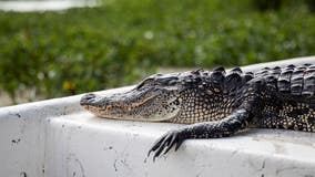 Judge blocks California's alligator ban after Louisiana sues