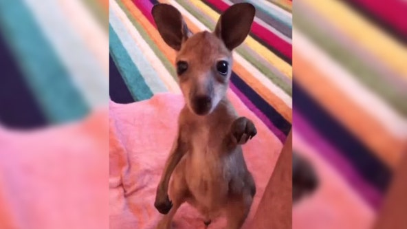 Orphaned baby kangaroo stands up by himself for the first time in precious video