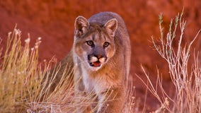 Mountain lion sighting at San Mateo's Laurelwood Park