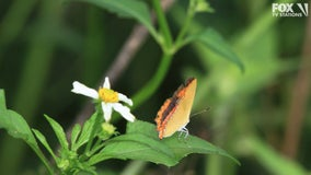 Officials propose California butterfly for threatened list