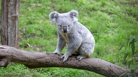 San Francisco Zoo holds naming contest for new koala
