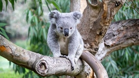 Koala naming contest at SF Zoo to raise money for Australia