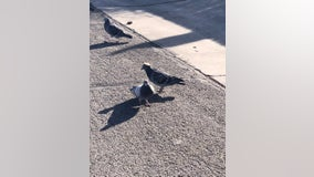 Pigeon wearing tiny sombrero discovered in Reno