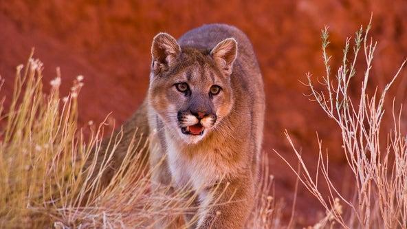 Mountain lion sighting at San Mateo's Laurelwood Park
