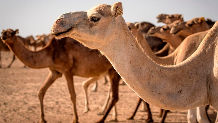 A herd of camels is seen in the desert near Dakhla in Morocco-administered Western Sahara on October 13, 2019. (Photo by FADEL SENNA / AFP) (Photo by FADEL SENNA/AFP via Getty Images)