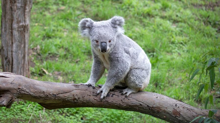 San Francisco Zoo holds naming contest for new koala