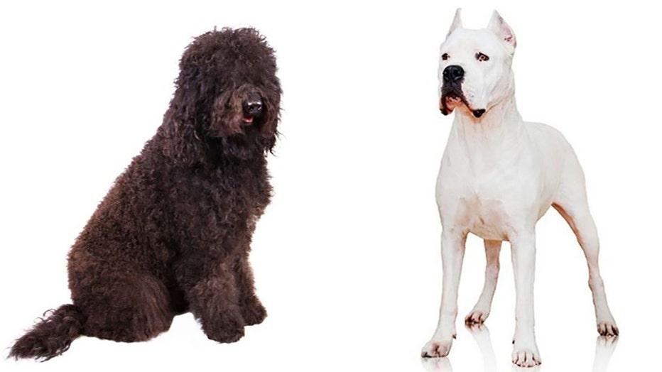AKC-TWO-NEW-DOG-BREEDS.jpg