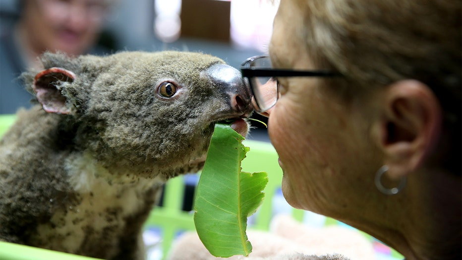 Koala Hospital Works To Save Injured Animals Following Bushfires Across Eastern Australia