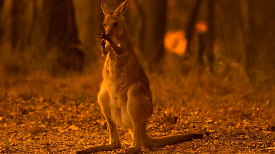 WALLABY-GETTY.jpg