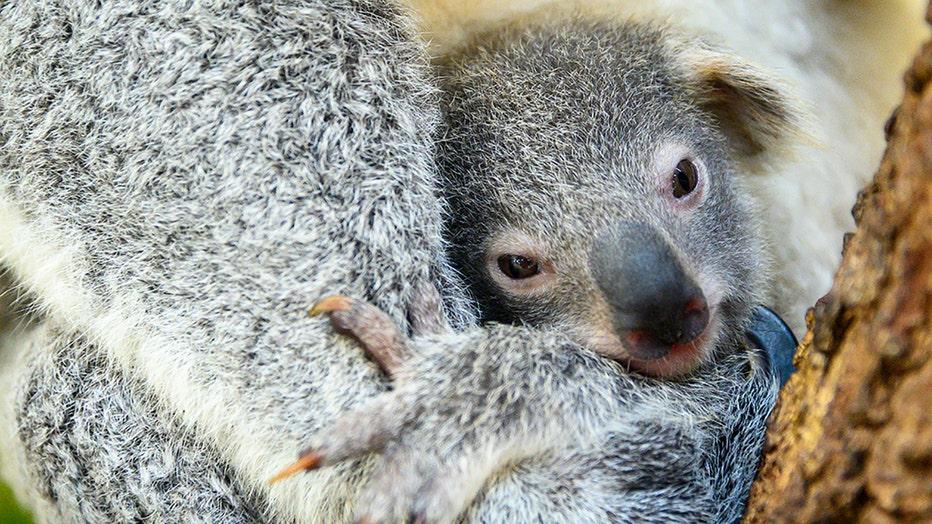 zoo-miami-koala-baby-3.jpg