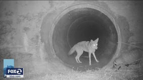 Badger and coyote captured on wildlife research camera in South Bay