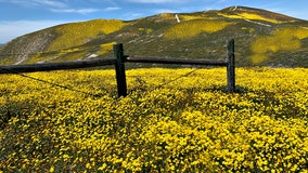 Can we expect another super bloom in California in 2020?