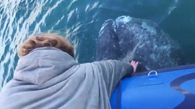 Whale gets close enough to pet off SoCal coast