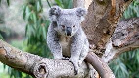 Koala naming contest at SF Zoo raises $15K for Australian bushfire relief