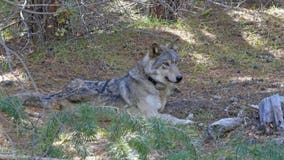 Endangered gray wolf found dead in Northern California