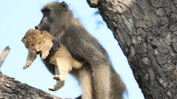 Baboon grooms, 'adopts' lion cub in South African national park
