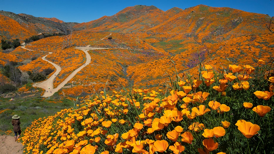 LAKE ELSINORE, CA - MARCH 13: California Poppies are abundant as visitors take in the scenery of the Super Bloom, Lake Elsinore Poppy Fields in Walker Canyon after the city closed the area on March 13, 2019 in Lake Elsinore, California. (Photo by Allen J. Schaben/Los Angeles Times via Getty Images)