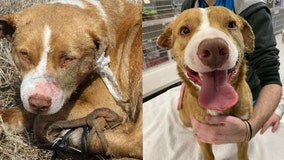Arrest made after dog had glue poured in ears, shot with BB gun