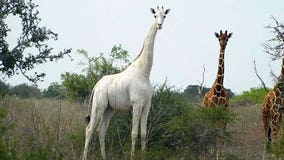 2 rare white giraffes killed by poachers, Kenyan officials say