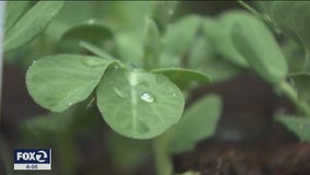 "Residents around the Bay Area are planting ""Victory Gardens"" during the coronavirus pandemic"