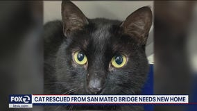 Cat rescued from mid-span of San Mateo Bridge up for adoption