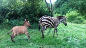 Zebra gives birth to rare 'zonkey' foal after mating with donkey in Kenya