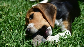 Tiger's coronavirus case sparks new warnings for pet owners