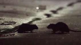 Rat sightings could rise amid coronavirus outbreak, experts say
