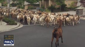 Herd of 200 goats run through San Jose streets