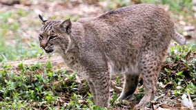 Fremont residents advised to be cautious after bobcat sighting