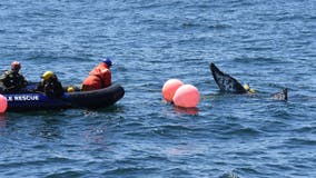 Entangled humpback whale freed in Monterey Bay