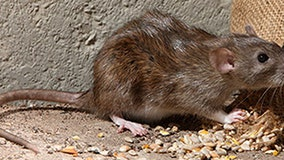 CDC warns rat populations on the rise, as hunger-stressed rodents seeking food become aggressive
