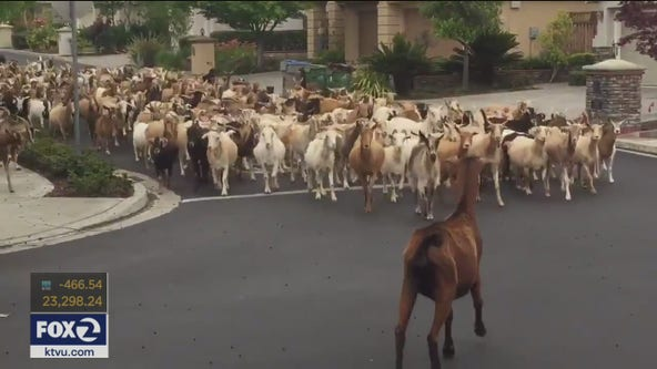 Herd of 200 goats run through San Jose streets