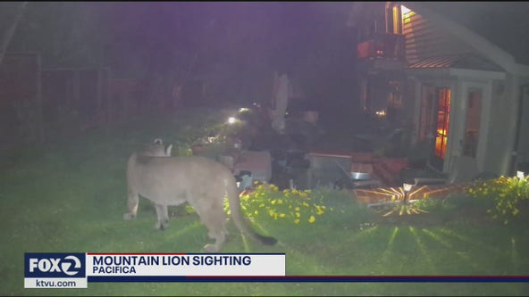 Video: Mountain lion caught roaming Pacifica backyard