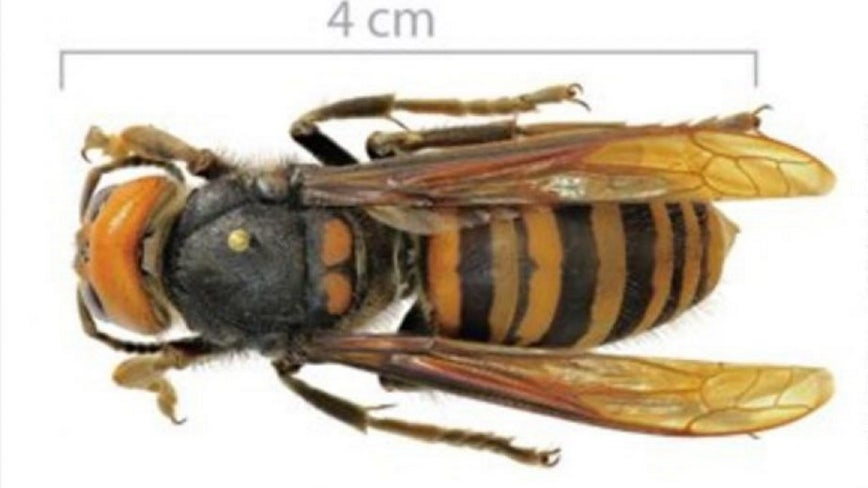 'Murder hornet' trapped for first time in Washington state, experts say