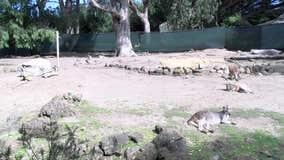 San Francisco Zoo confirms 3 marsupials found dead, mountain lion may be responsible