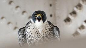 Two falcon chicks reunited with parents at San Francisco International Airport hangar
