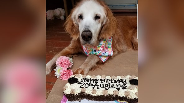 Tennessee golden retriever celebrates record-breaking 20th birthday with cake and family