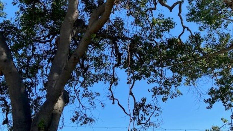 Ropes hanging from tree at Lake Merritt.