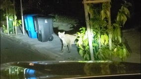 Mountain lion that roamed San Francisco streets struck, killed by vehicle in Pacifica