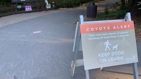 Officials investigating whether coyote bite in Moraga is second in just over a week