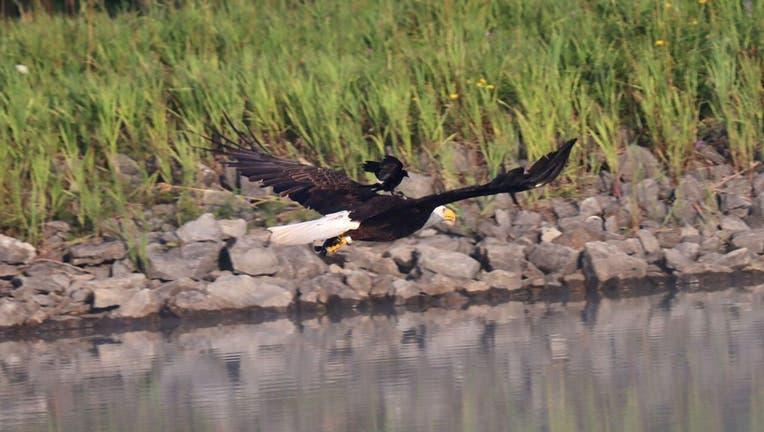 Bald-Eagle-Bill-Combs-Jr-2.jpg